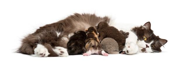 Gattino neonato dell'altopiano diritto o piegato che si trova, 1 settimana di età, isolato Foto Premium