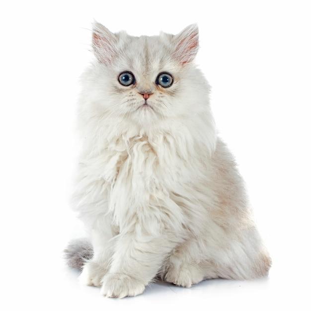Gattino persiano Foto Premium