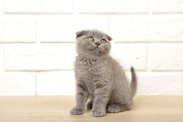 Gattino scozzese grigio su sfondo bianco, ritagliato Foto Premium