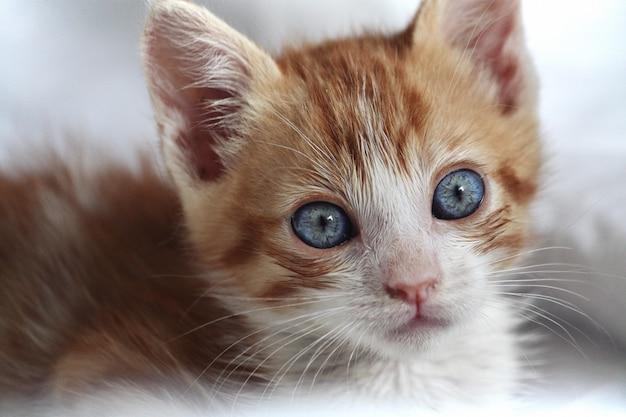 Gatto arancione e bianco del bambino con gli occhi azzurri visti dalla parte anteriore Foto Premium