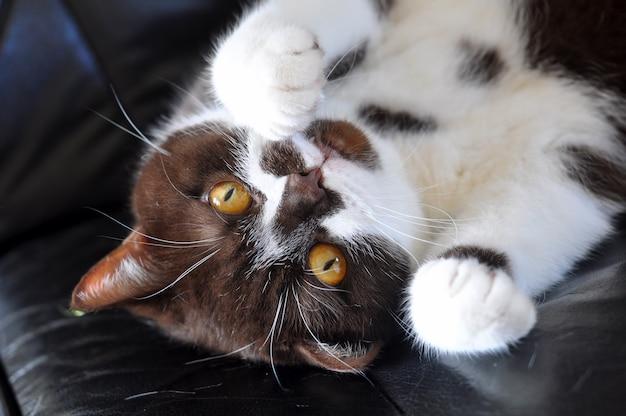 Gatto british a pelo corto con occhi giallo brillante Foto Premium