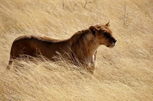 gatto gatto selvatico animali natura leone selvaggio leonessa Foto Gratuite