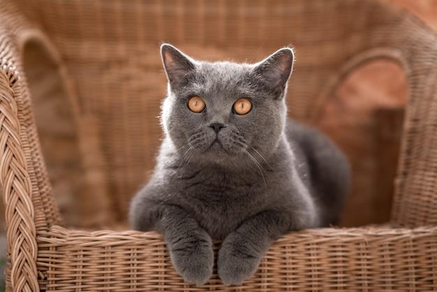 Gatto grigio britannico che si trova su una sedia di vimini sulla veranda Foto Premium