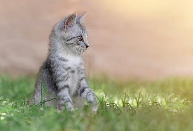 Gatto nell'erba verde di estate. bellissimo gatto grigio con gli occhi gialli Foto Premium