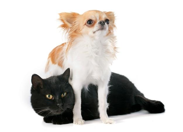 Gatto nero e chihuahua Foto Premium