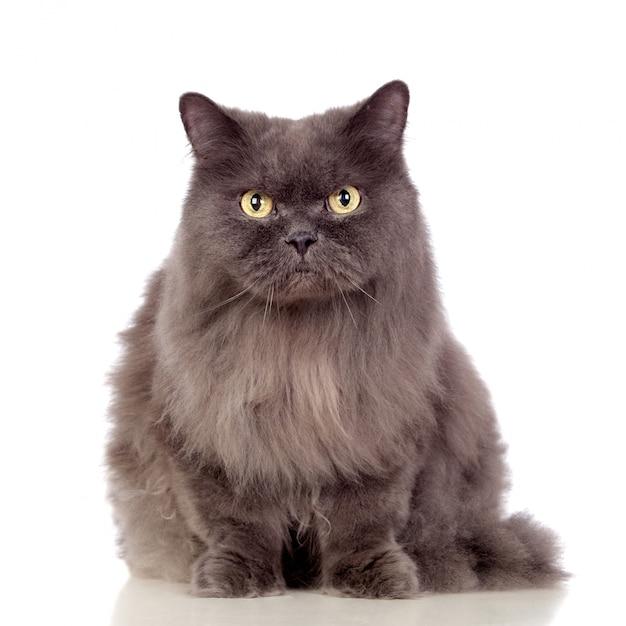 Gatto persiano adorabile isolato su fondo bianco Foto Premium