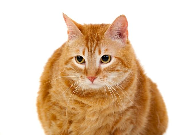 Gatto Rosso Adulto Scaricare Foto Premium