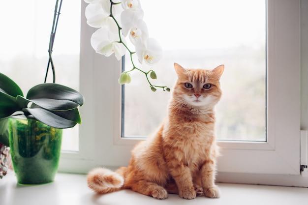 Gatto rosso dello zenzero che si siede sul davanzale vicino all'orchidea Foto Premium