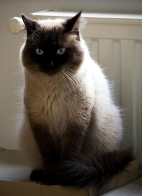 Gatto Siamese E Radiatore Scaricare Foto Premium