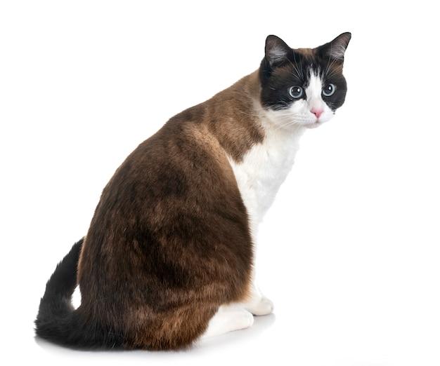 Gatto Siamese In Studio Scaricare Foto Premium