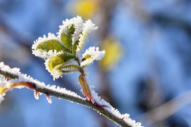 Gelo e neve sui rami inverno bellissimo sfondo stagionale. foto di natura congelata. Foto Gratuite