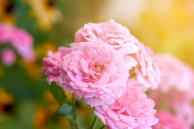 Germogli delle rose di fioritura rosa nel giardino, raggi del sole luminoso Foto Premium