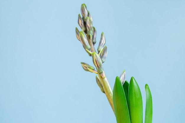 Germoglio chiuso del fiore blu del giacinto in vaso verde del trasporto sul blu. copia spazio. Foto Premium