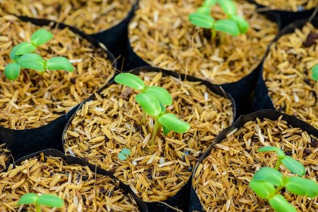 Germoglio di girasole giovane verde Foto Premium