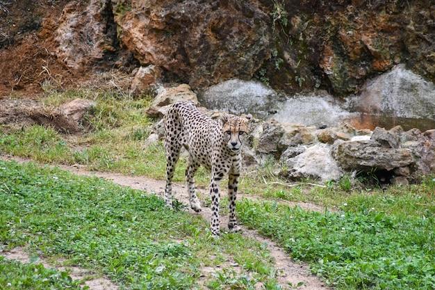 Ghepardo che cammina attraverso un campo Foto Premium