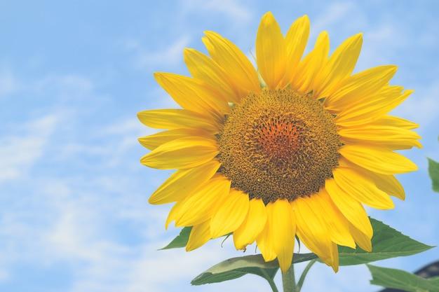 Giacimento del girasole fondo del cielo blu di giorno soleggiato per la vostra progettazione Foto Premium