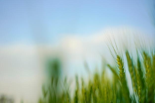 Giacimento di grano in india Foto Premium