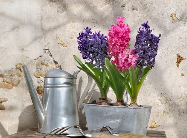 Giacinti in vaso di metallo Foto Premium