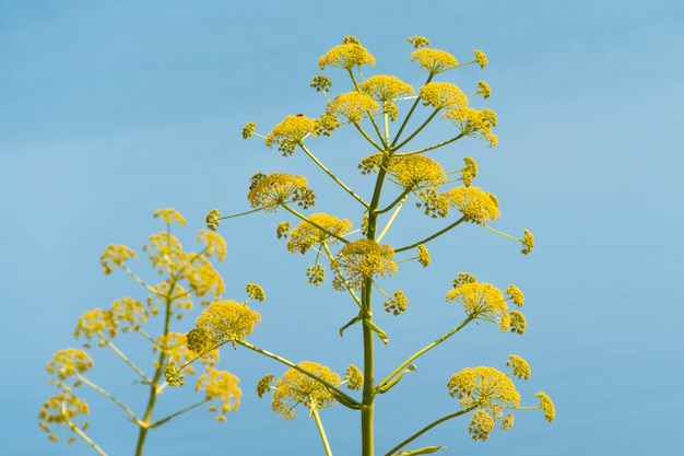 Giant hogweed, un gigante hogweed contro il cielo blu, pianta pericolosa Foto Premium