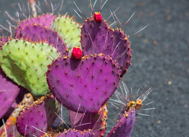 Giardino dei cactus di lanzarote guatiza opuntia macrocentra Foto Premium