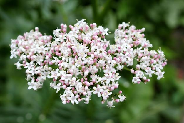 Giardino di fiori di valeriana Foto Premium