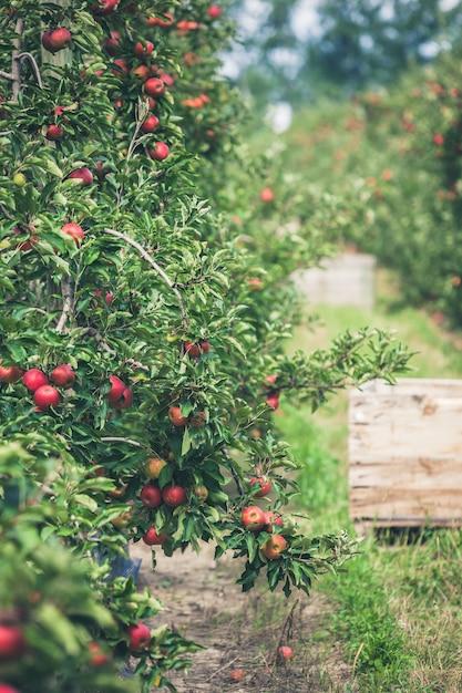 Giardino pieno di mele rosse mature Foto Premium