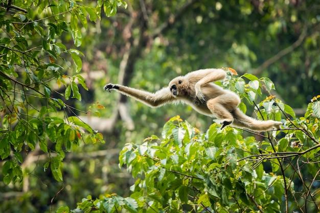 Gibbone dalle mani bianche che salta nella foresta Foto Premium