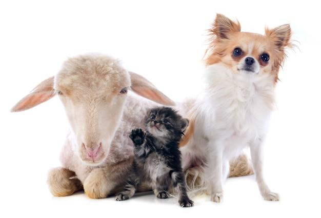Giovane agnello, gattino e chihuahua Foto Premium