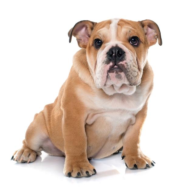Giovane bulldog inglese Foto Premium