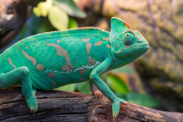Giovane camaleonte verde. habitat naturale. animale domestico carino. fauna della natura. Foto Premium