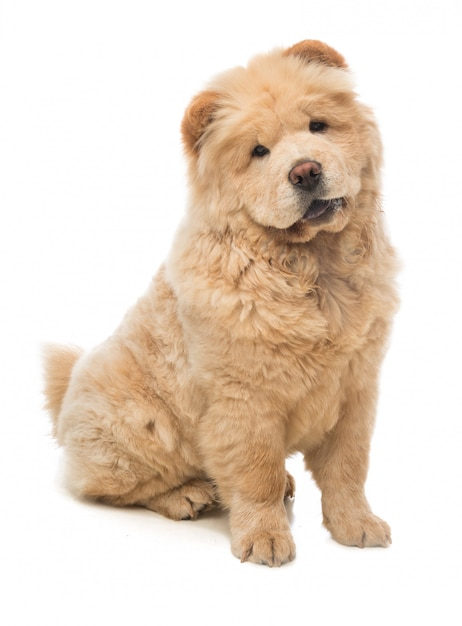 Giovane cane chow chow seduto guardando avanti Foto Premium