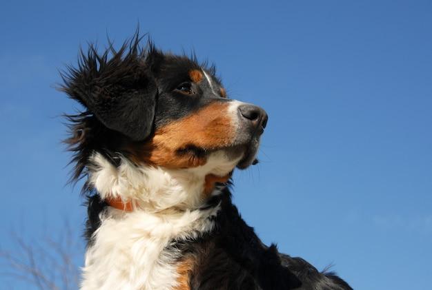 Giovane cane da montagna bernese Foto Premium