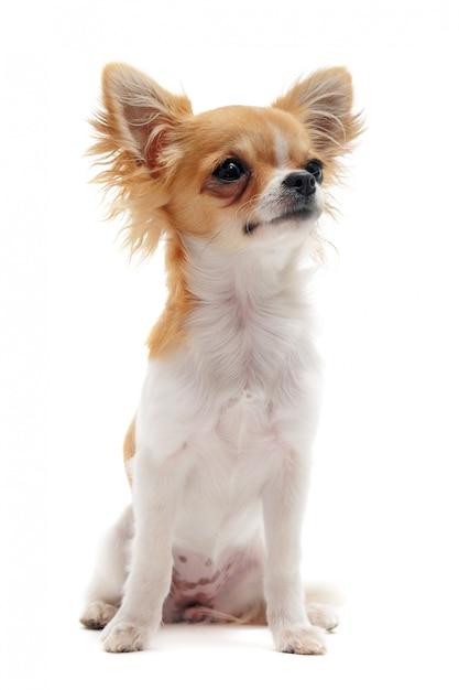Giovane chihuahua Foto Premium