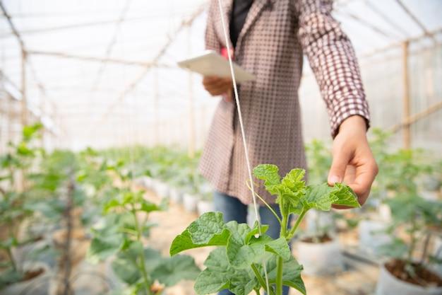 Giovane ingegnere agricolo che studia nuovo genere di melone che cresce nella serra Foto Gratuite