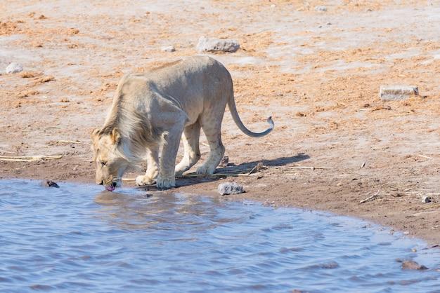 Giovane leone maschio che beve dal waterhole nella luce del giorno. safari della fauna selvatica nel parco nazionale di etosha, la principale destinazione di viaggio in namibia, africa. Foto Premium