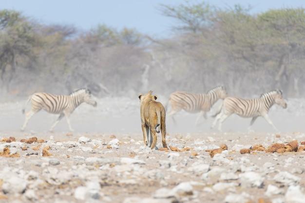 Giovane leone maschio, pronto per l'attacco, camminando verso il branco di zebre che scappano. safari della fauna selvatica nel parco nazionale di etosha, namibia, africa. Foto Premium