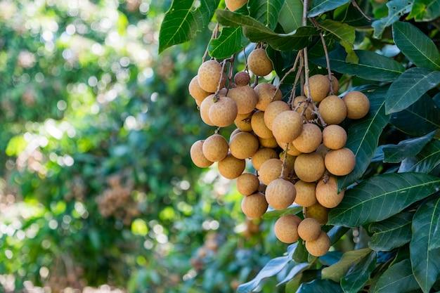 Giovane longan di frutti tropicali in tailandia Foto Premium