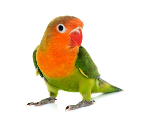 Giovane piccioncino fischeri Foto Premium