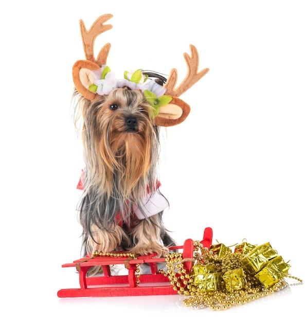 Giovane yorkshire terrier Foto Premium