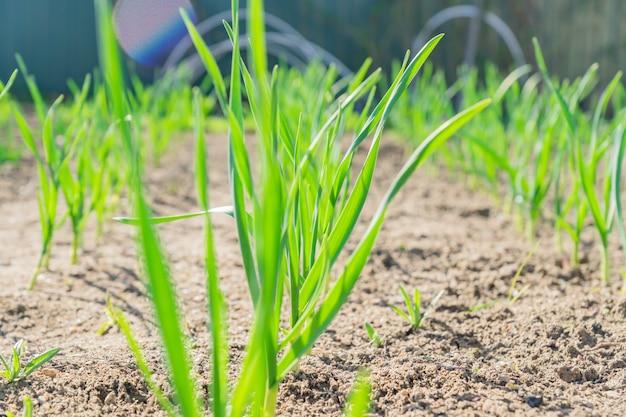 Giovani gambi di aglio crescente, orto all'inizio della primavera. Foto Premium