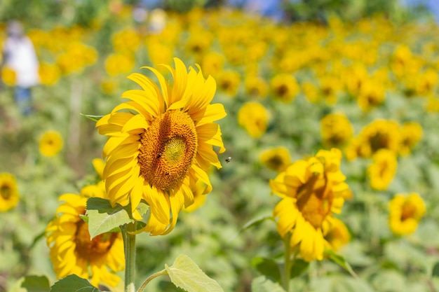 Girasole in un bellissimo giardino giallo. Foto Gratuite