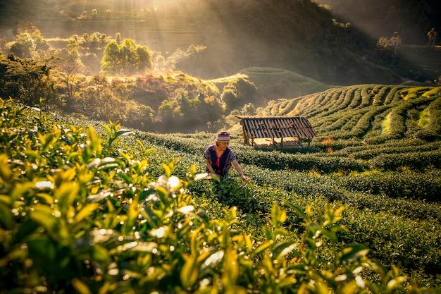 Gli agricoltori di tè raccolgono il tè al mattino, tra montagne e nebbia. Foto Premium