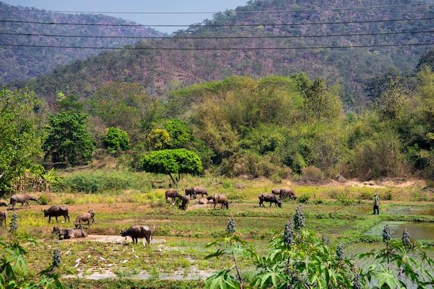 Gli agricoltori portano greggi di bufali a giocare l'acqua fangosa per rinfrescarsi Foto Premium