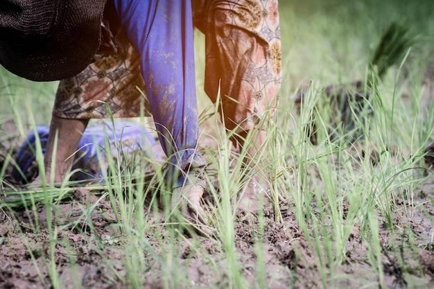 Gli agricoltori stanno coltivando nella campagna della tailandia. Foto Premium
