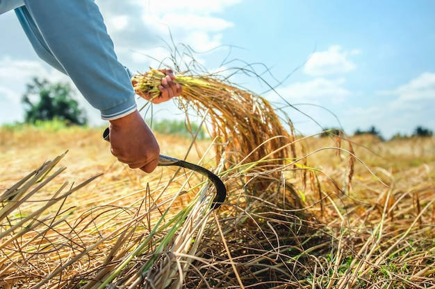 Gli agricoltori stanno raccogliendo riso nei campi. concetto di agricoltura Foto Premium