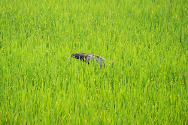 Gli aironi trovano cibo in mezzo alle risaie. Foto Premium