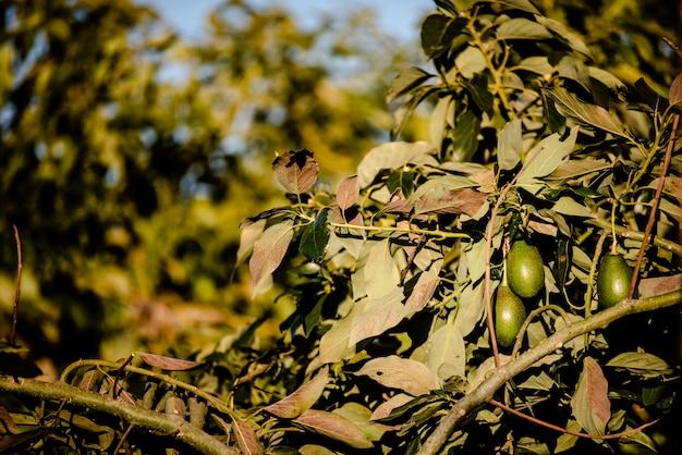 Gli avocado cuke senza semi, persea americana, sull'albero, prima che siano maturi e pronti per la raccolta. Foto Premium
