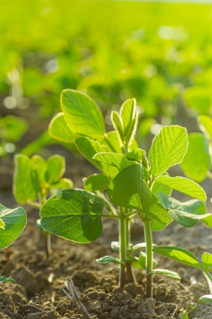 Glycine max, soia, germogli di soia che crescono semi di soia su scala industriale Foto Premium