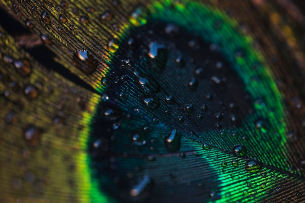 Gocce d'acqua sul bellissimo pavone sul muro con texture sfondo Foto Gratuite