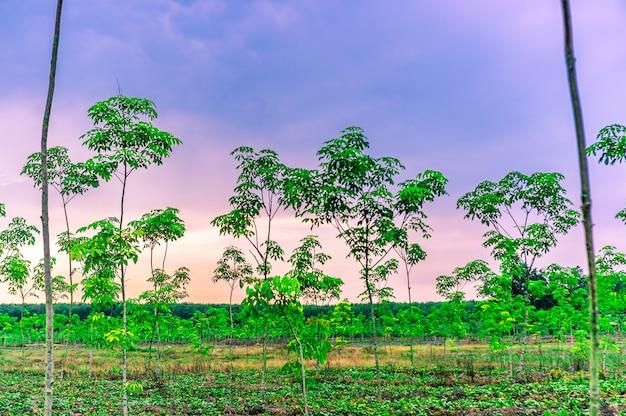Gomma di latrx della piantagione o gomma di para o gomma di albero tailandia del sud Foto Premium